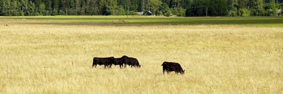 Aberdeen-Angus is a brand product, among thoughtful consumer, who are looking for first class beef.
